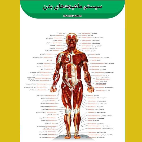 پوستر عضلات بدن انسان